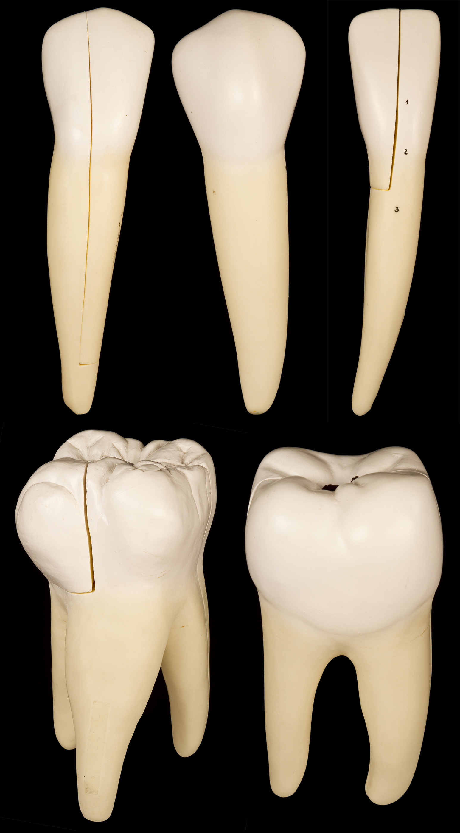 Human Tooth Set Lower Incisor Tooth